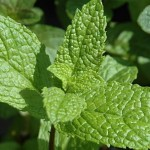 Surprising Health Benefits of Humble Mint Leaves – Podina