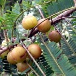 Indian Gooseberry -Ayurvedic health benefits