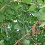 Herbal Medicinal Plant Bael– (Aegle Marmalos)